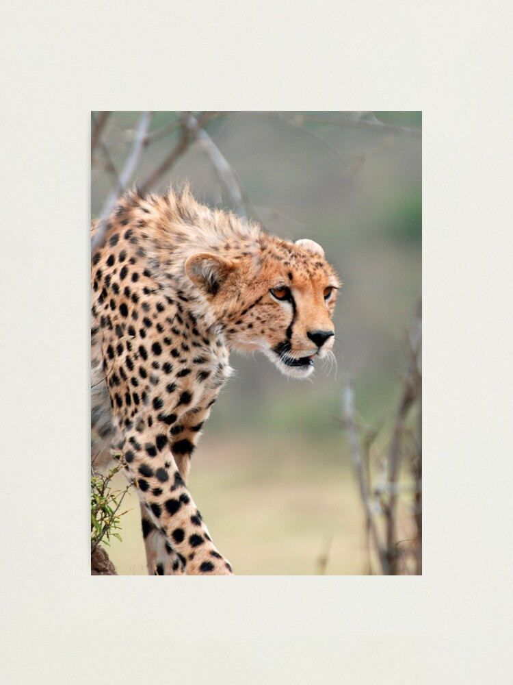 Alternate view of Male Cheetah  Photographic Print