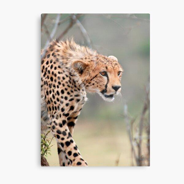 Male Cheetah  Metal Print