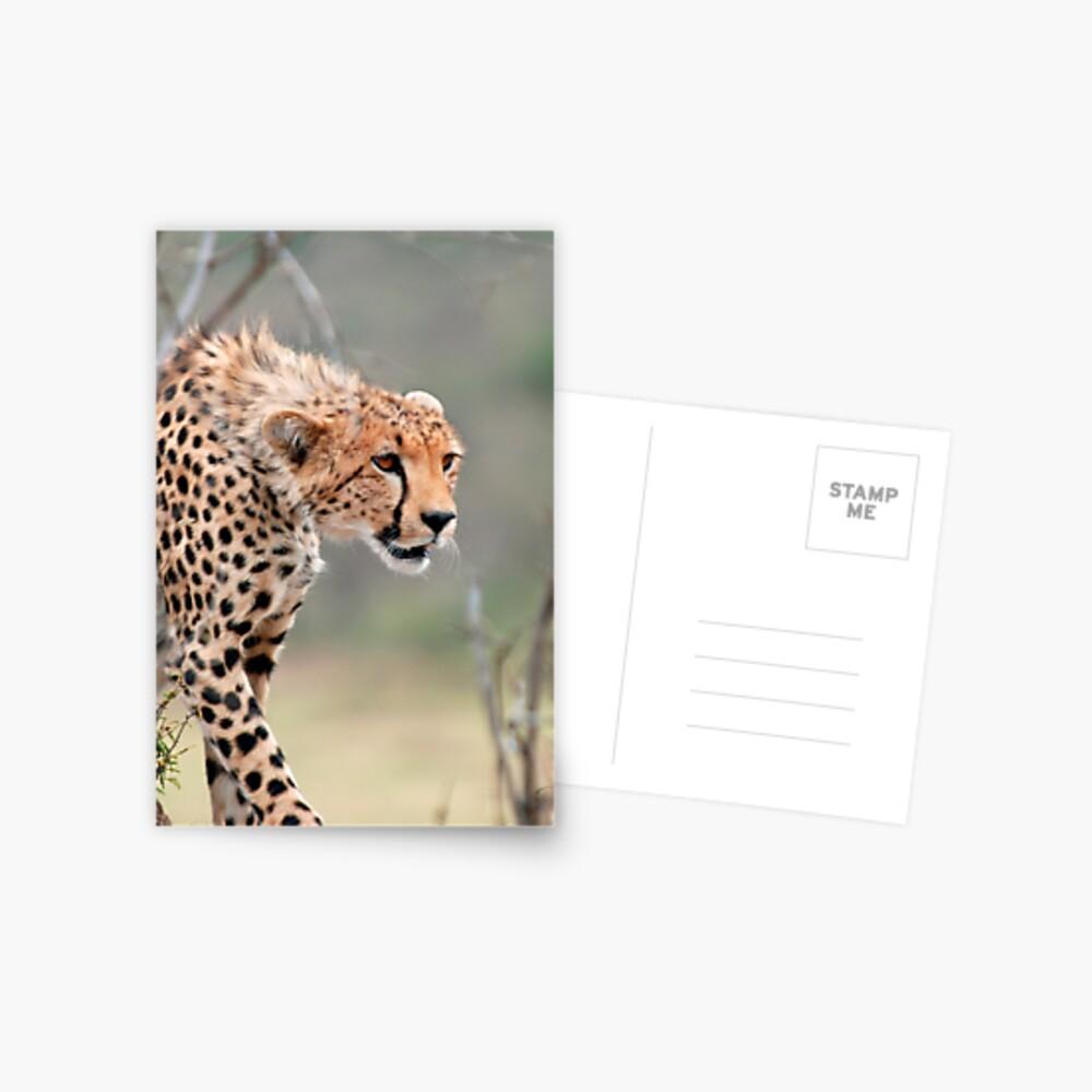 Male Cheetah  Postcard