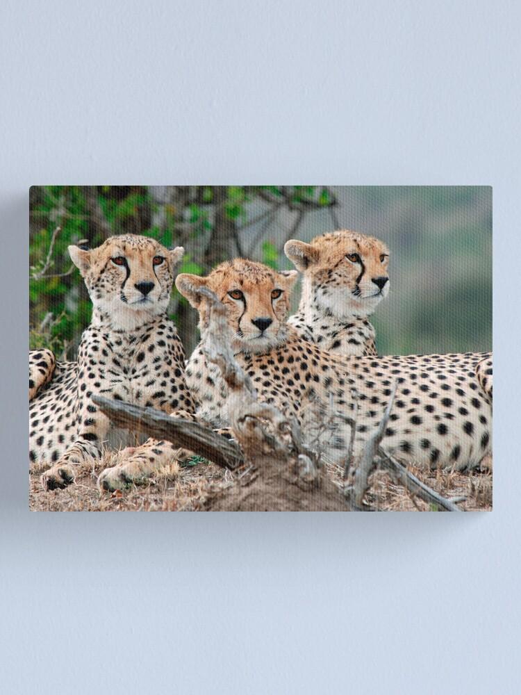 Alternate view of A Coalition of Cheetahs - Masai Mara Canvas Print