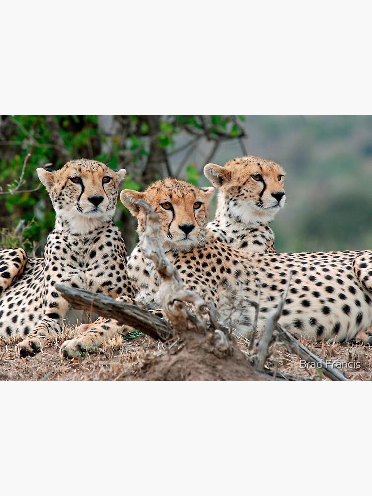 A Coalition of Cheetahs - Masai Mara by bfra