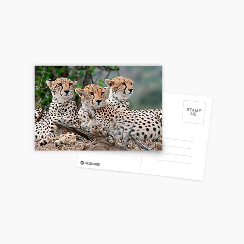 A Coalition of Cheetahs - Masai Mara Postcard