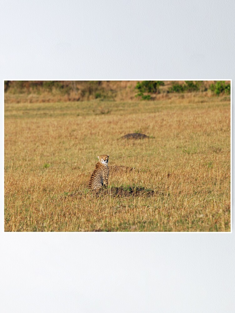 Alternate view of Sunset Cheetah Poster