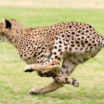 Cheetah Sprint by bfra