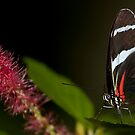 Black and Red butterfly! by vasu