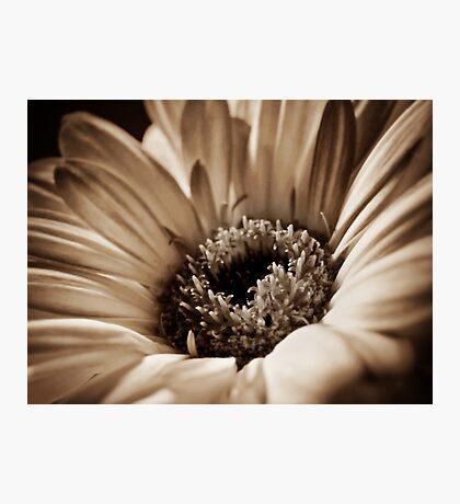 Soft Sepia Gerbera Photographic Print