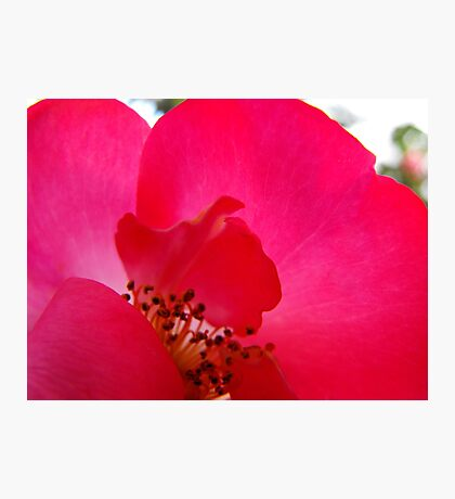 Hot Pink Rose Photographic Print