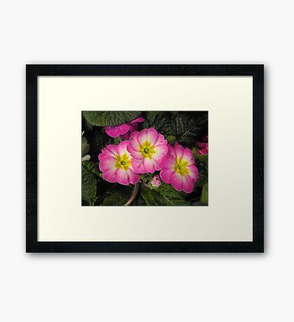 Pink Primulas  Framed Print