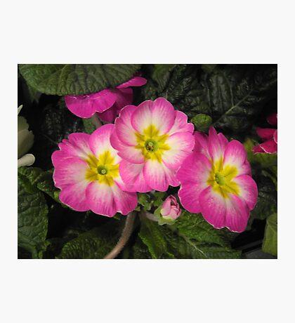 Pink Primulas  Photographic Print