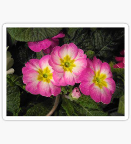 Pink Primulas  Sticker