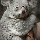 """""""Big Ears"""" - koala bear by ArtThatSmiles"""
