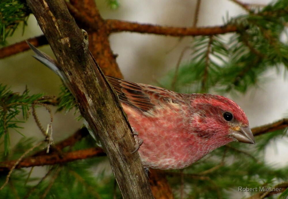 Purple Finch Looking as Lovely as Ever by Robert Miesner