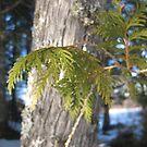 Cedar Bough Macro. by Christopher Clark