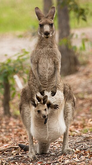 Kangaroo by Anna Calvert