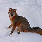 Grey Fox by Diana Nault