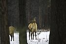 Spike bull elk - where is everyone? by amontanaview