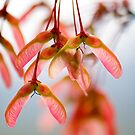 Maple Seeds by Oscar Gutierrez