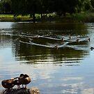 Ducks by JMR-ART