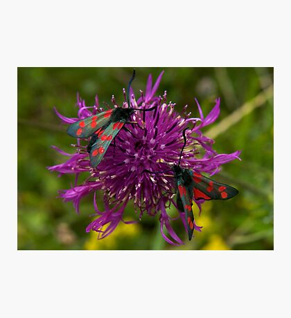 """Greater Knapweed with """"6-spot Burnet"""" Moths Photographic Print"""
