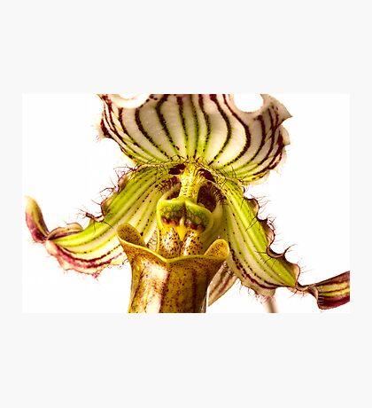 Paphiopedilum Fairrieanum Orchid Photographic Print