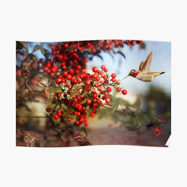 Holiday Hummingbird in Christmasberry Poster