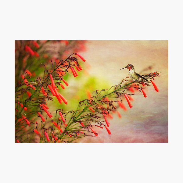 Hummingbird Perched on Red Wildflowers Photographic Print