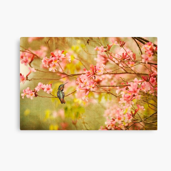 Allens Hummingbird with Spring Blossoms Canvas Print
