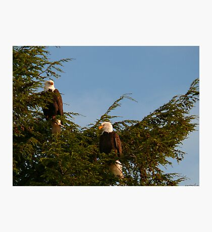 Two Bald Eagles  Photographic Print