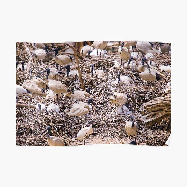 White Ibis Nesting Poster