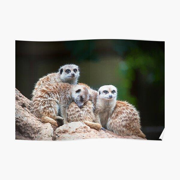Meerkat Family  (digital painting) Poster