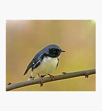 Black-throated Blue Warbler Photographic Print