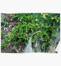 Salice erbaceo (Salix herbacea) Poster