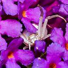 Female crab spider on violet flower by teva-art