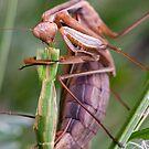 Headless mating mantis by teva-art
