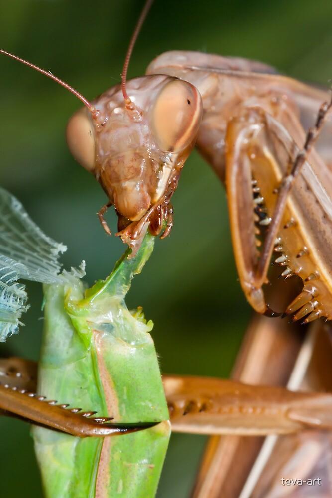 Headless mating mantis - detail by teva-art