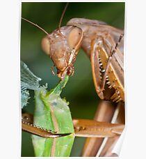 Headless mating mantis - detail Poster