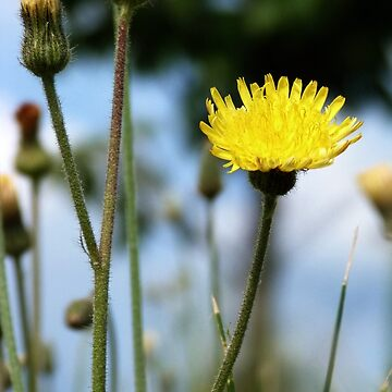Wildflower by Shadowfudo