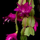Christmas Cactus Purple Flower blooms by Bo Insogna