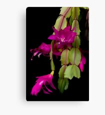 Christmas Cactus Purple Flower blooms Canvas Print