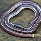 Blind Snake, Ramphotyphlops proximus by Normf
