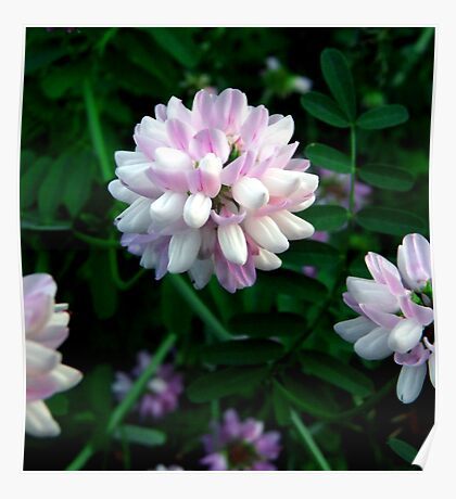 Crown Vetch (Coronilla Varia) Poster