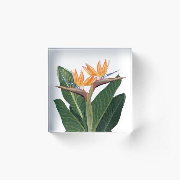 Strelitzia floral design on a white background Acrylic Block