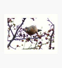 reaching robin, Weedy Field CA Art Print