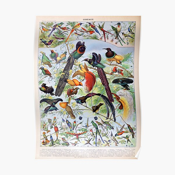 Adolphe Millot - Oiseaux B - French vintage poster Poster