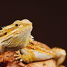 Central Bearded Dragon (Pogona vitticeps) by Shannon Wild