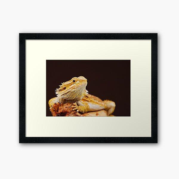 Central Bearded Dragon (Pogona vitticeps) Framed Art Print