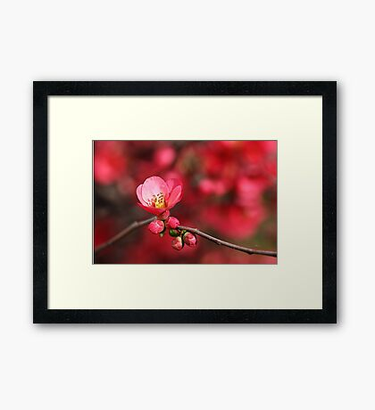 Warmth Of Flowering Quince Framed Print