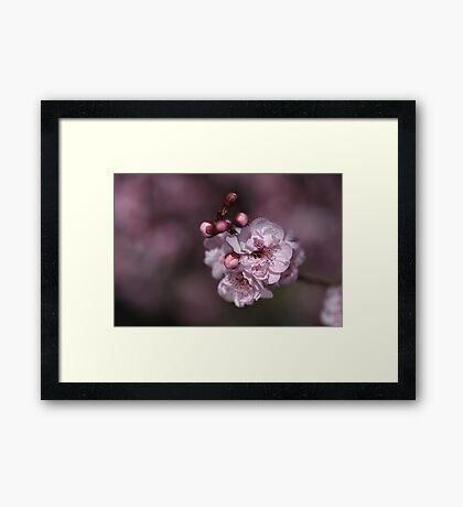 Delightful Pink Prunus Framed Print