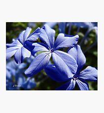 Blue Plumbago Photographic Print