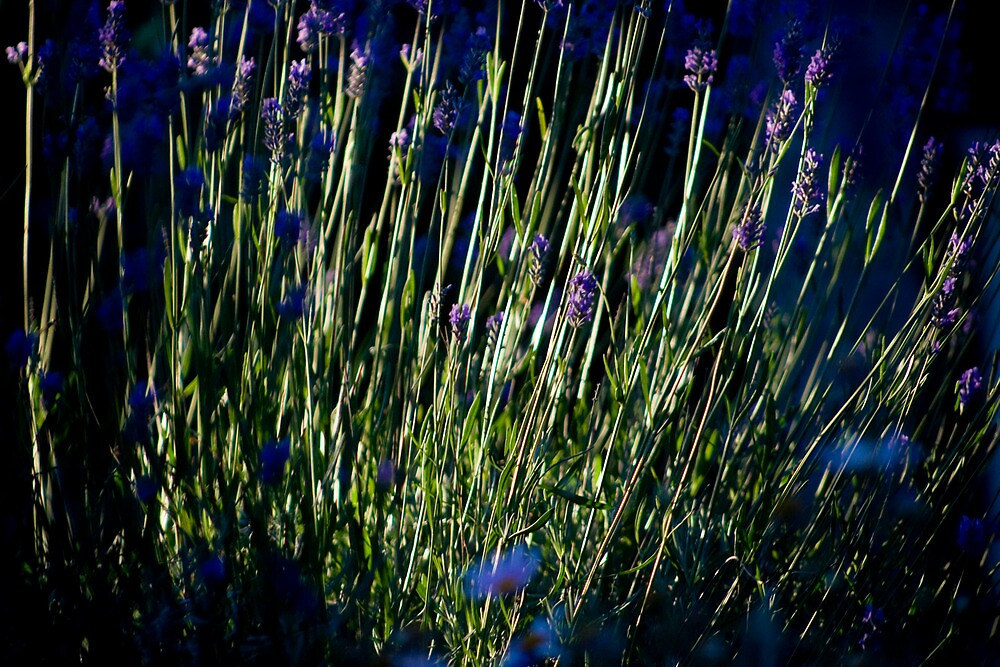 Lavender by Rupert Russell